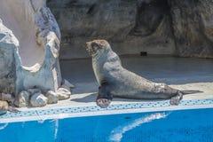 Leões de mar em um jardim zoológico Imagem de Stock Royalty Free