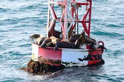 Leões de mar em uma bóia Foto de Stock Royalty Free