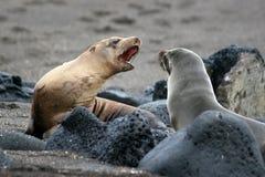 Leões de mar, Galápagos fotos de stock royalty free