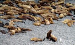Leões de mar na costa do oceano Imagem de Stock Royalty Free