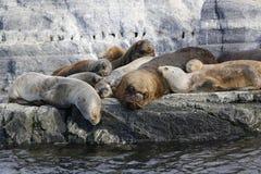 Leões de mar na ilha dos leões de mar no canal do lebreiro, Argentina Imagem de Stock