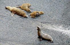 Leões de mar na praia Fotografia de Stock