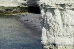 Leões de mar na praia Imagens de Stock