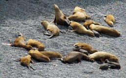 Leões de mar na praia Fotografia de Stock Royalty Free
