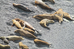 Leões de mar na praia Foto de Stock Royalty Free