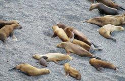 Leões de mar na praia de pedra Fotografia de Stock Royalty Free