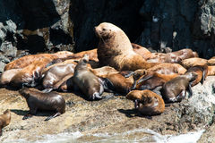 Leões de mar na rocha Foto de Stock Royalty Free