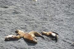 Leões de mar nas pedras Fotos de Stock Royalty Free
