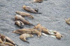 Leões de mar nas pedras Fotos de Stock