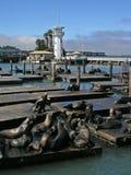 Leões de mar no cais Fotos de Stock Royalty Free