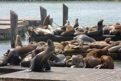 Leões de mar no cais 39 Imagens de Stock Royalty Free