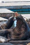 Leões de mar no cais 39 Fotografia de Stock