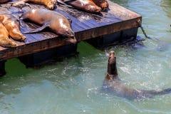 Leões de mar no cais 39 em San Francisco imagens de stock royalty free