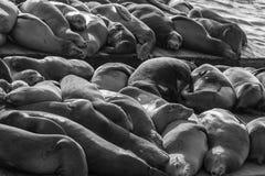 Leões de mar no cais 39 em San Francisco fotos de stock royalty free