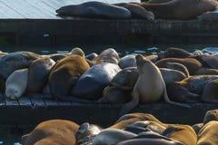 Leões de mar no cais 39 em San Francisco fotografia de stock royalty free