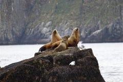 Leões de mar no seward Alaska dos parques nacionais dos fiordes de Kenai Imagens de Stock Royalty Free