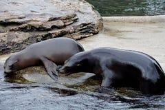 Leões de mar novos de Califórnia que jogam ao redor foto de stock royalty free
