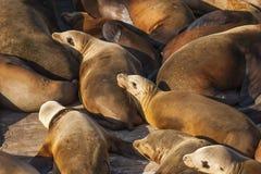 Leões de mar que descansam na doca Foto de Stock Royalty Free