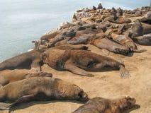 Leões de mar que descansam no porto de Mar del Plata em Buenos Aires fotos de stock