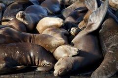 Leões de mar que dormem na doca fotos de stock royalty free
