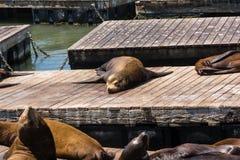Leões de mar que dormem nos cais Fotos de Stock Royalty Free