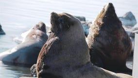 Leões de mar que olham o viveiro do leão de mar em Kamchatka video estoque