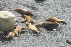 Leões de mar que relaxam na praia de pedra Imagem de Stock