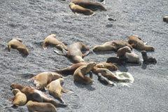 Leões de mar que relaxam na praia de pedra Imagem de Stock Royalty Free