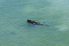 Leões de mar que vão nadar Fotografia de Stock