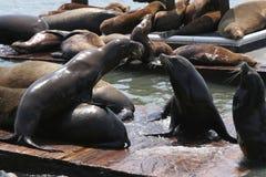 Leões de mar San Francisco fotos de stock