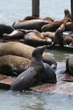 Leões de mar San Francisco fotografia de stock royalty free