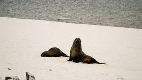 Leões de mar/selos na ilha de Cuverville na Antártica Imagens de Stock Royalty Free
