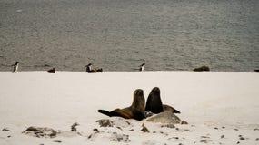 Leões de mar/selos na ilha de Cuverville na Antártica Foto de Stock