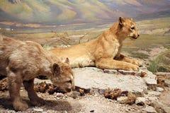 Leões de montanha Imagem de Stock