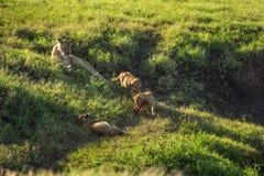 Leões do bebê olhados por sua mamã Imagens de Stock Royalty Free