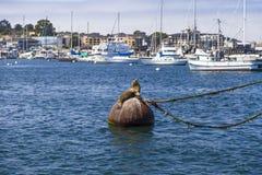 Leões e selos de mar no cais em Monterey, Califórnia Imagem de Stock