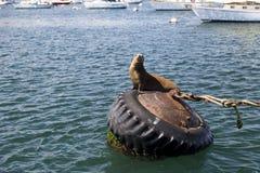 Leões e selos de mar no cais em Monterey, Califórnia Imagens de Stock
