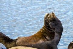 Leões e selos noroestes pacíficos de mar foto de stock