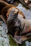 Leões e selos noroestes pacíficos de mar imagens de stock