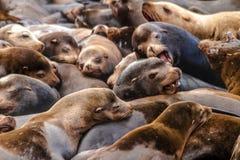 Leões e selos noroestes pacíficos de mar fotos de stock royalty free