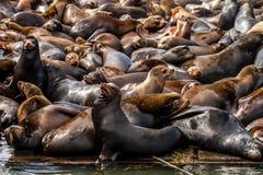 Leões e selos noroestes pacíficos de mar Imagem de Stock Royalty Free