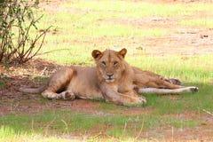 Leões em África Foto de Stock