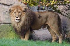 Leões em África Fotografia de Stock Royalty Free