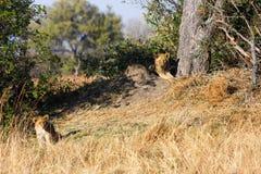 Leões em Botswana Fotografia de Stock Royalty Free