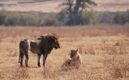 Leões em Ngorongoro N.P. Fotos de Stock