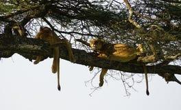Leões em Serengeti, Tanzânia Fotos de Stock Royalty Free
