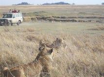 Leões em Tanzânia Fotos de Stock