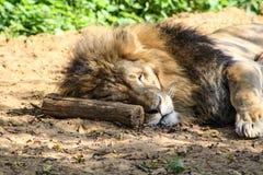 Leões em um jardim zoológico Fotos de Stock