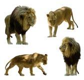 leões Isolado no branco Foto de Stock