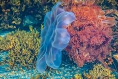 Leões Mane Jellyfish no Mar do Norte fotografia de stock